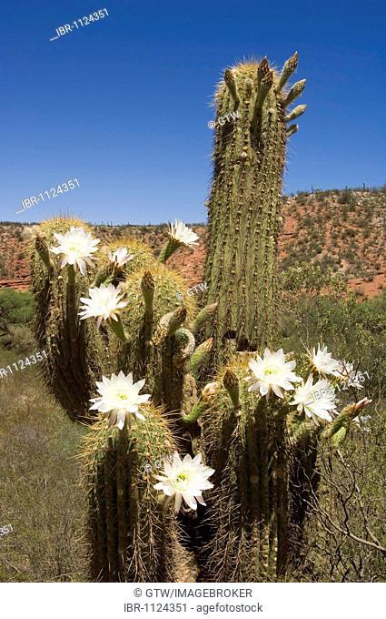 Blooming candelabra cactus, Cuesta de Miranda, La Rioja Province, Argentina