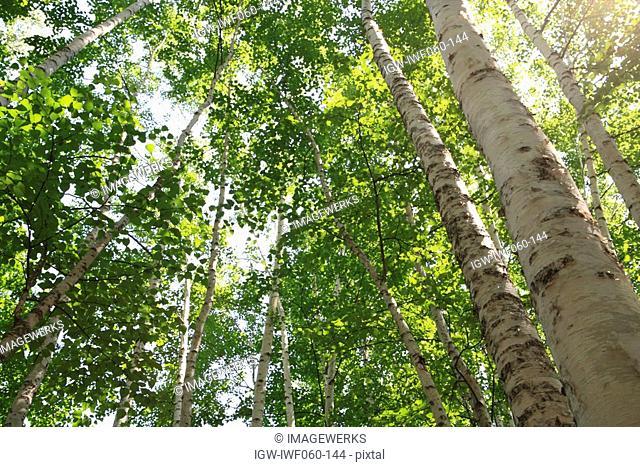 Japan, Hokkaido, Biei, Birch trees, low angle view