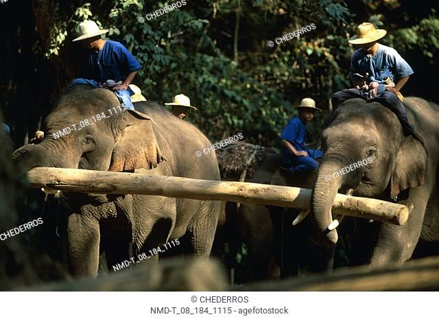 Trained elephants carrying a log, Thailand