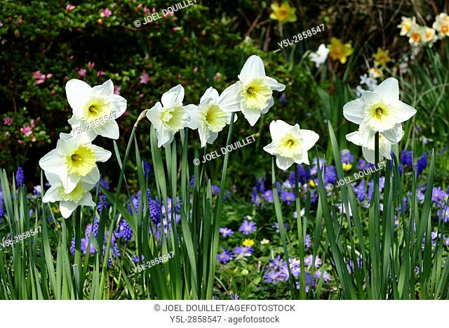 Flowering daffodils (Narcissus jonquilla, amaryllidacea,) in a garden, in april, in the background : Muscari armeniacum and Anemone blanda