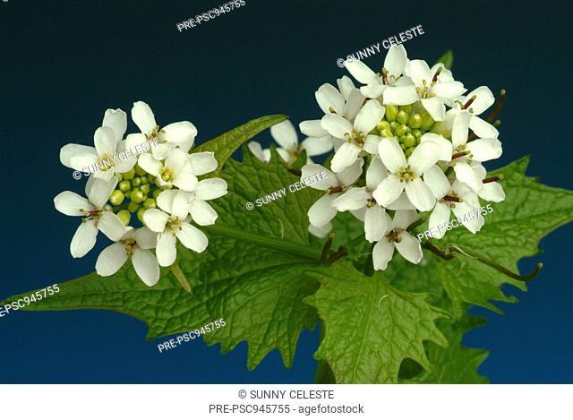 Garlic mustard, herb, medicinal plant, spice, Allaria officinalis, Alliaria comune