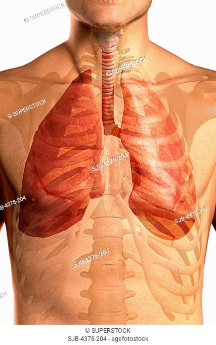 Close-up view of the upper body showing the respiratory system