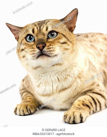 Seal Mink Bengal cat with blue eyes, white background, lying, studio shot