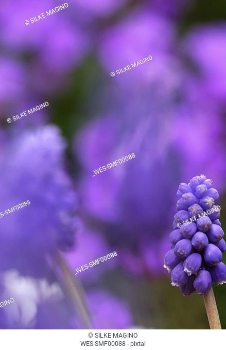 Grape hyacinths, Close-up