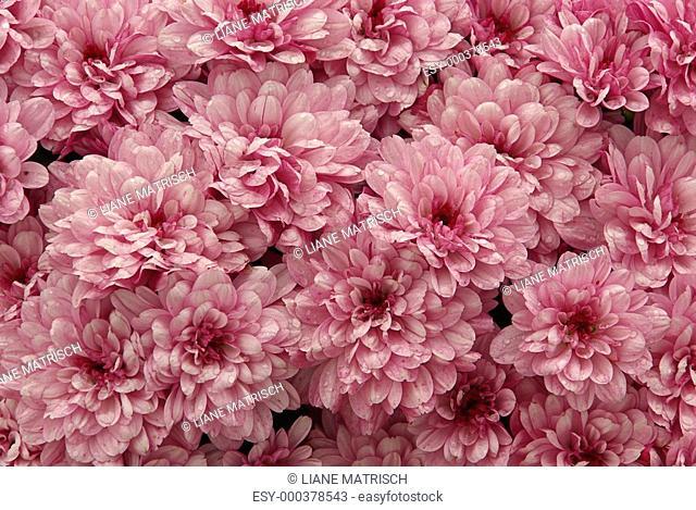 Chrysantheme - chrysanthemum 03
