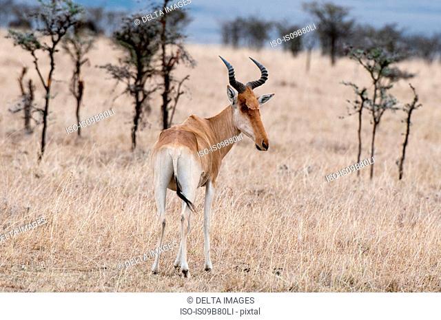 Hartebest (Alcelaphus buselaphus), rear view, Maasai Mara National Reserve, Rift Valley, Kenya, Africa