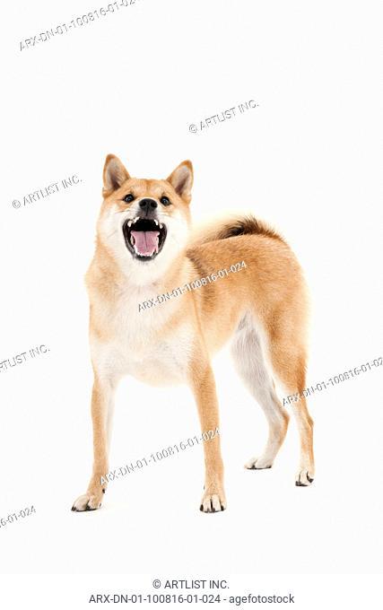 A barking dog