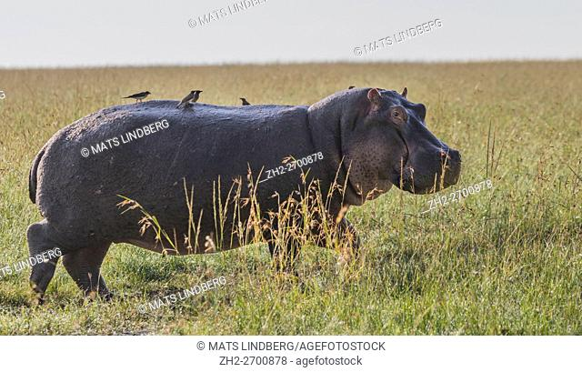 Hippopotamus in high grass on the savanna with oxpeckers on his back, turning and looking in to the camera, Masai Mara, Kenya, Africa