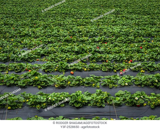 Strawberry fields forever! Rows of strawberries under plastic sheeting which encourages the plants to grow while giving a certain amount of protection from...