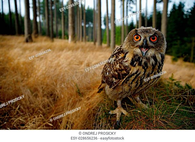 Sitting young Eurasian Eagle Owl on moss tree stump with in forest