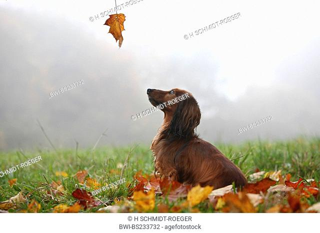 Long-haired Dachshund, Long-haired sausage dog, domestic dog Canis lupus f. familiaris, five years old animal sitting in autumn foliage in a foggy meadow...
