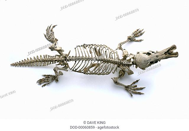Skeleton of Duck-billed platypus (Ornithorhynchus anatinus), view from above
