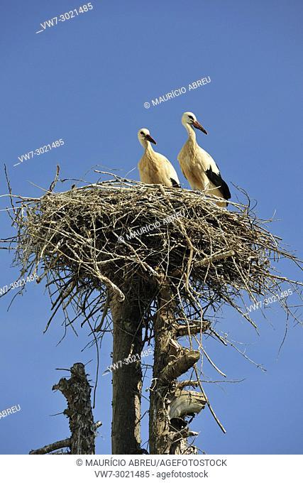 Storks in Aljezur, Algarve. Portugal