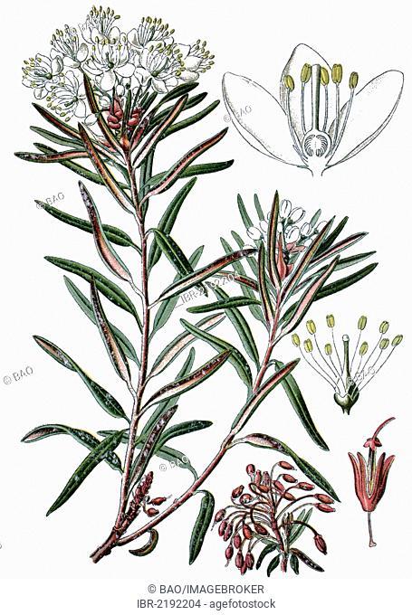Marsh Labrador Tea or Wild Rosemary (Ledum palustre), a medicinal plant, historical chromolithography, ca. 1870