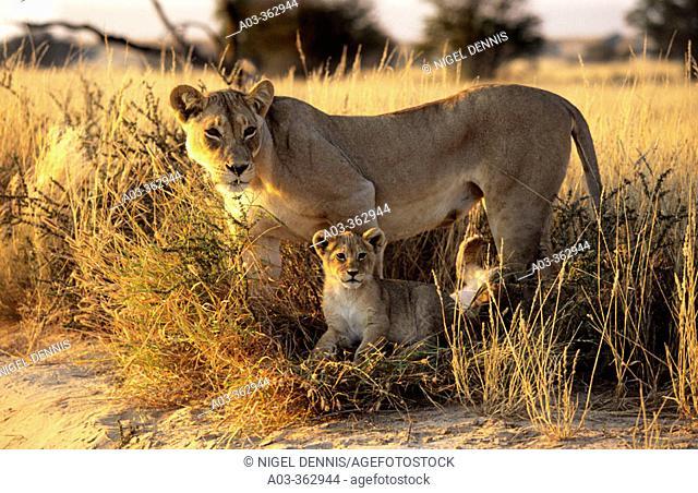 Lions (Panthera leo), lioness and cub. Kgalagadi Transfrontier Park, Kalahari, South Africa