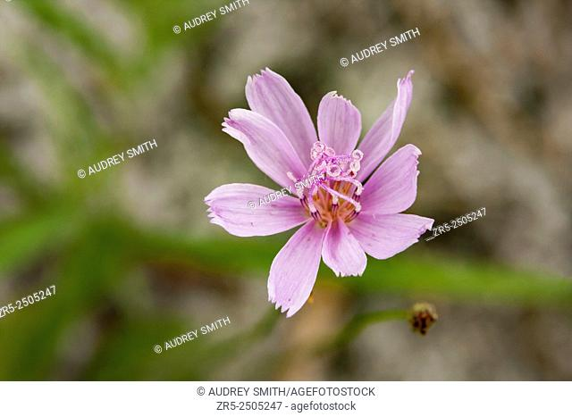 Roserush (Lygodesmia aphylla) is a flower of varying colors, from white to pink to lavender. It is found in the dry sandy soils of flatwoods, pine barrens
