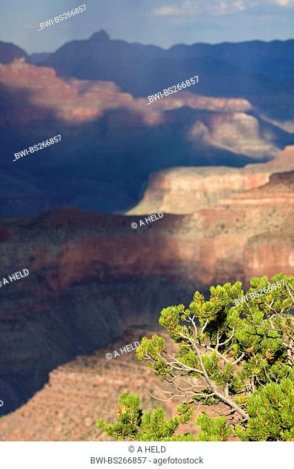 Pinyon Pine Pinus edulis, branches and cones at the Grand Canyon, USA, Arizona, Grand Canyon National Park
