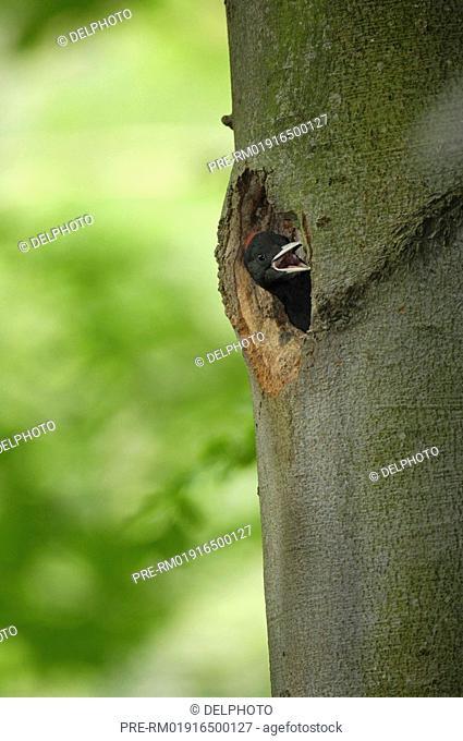 Black Woodpecker, Dryocopus martius