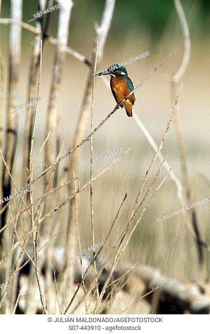 Kingfisher in countryside near Jabalón river. Ciudad Real province, Castilla-La Mancha. Spain