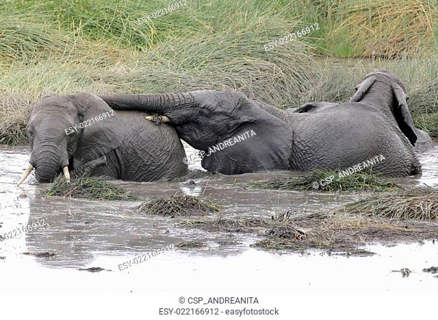 Young elephants playing in a water pool