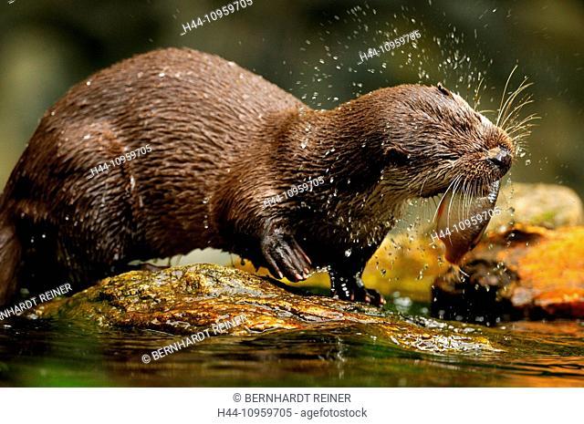 Otter, Lutra lutra, hairy-nosed otter, mustelidae, martens, predators, canids, otters, water, predator, fish marten, otter, lake, fishing, spring, animal