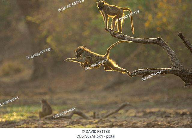 Baboons - Papio cynocephalus ursinus - jumping at dawn, Mana Pools National Park, Zimbabwe
