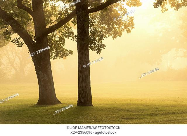 Golden sunlight illuminates a pair of oak trees in fog at sunrise