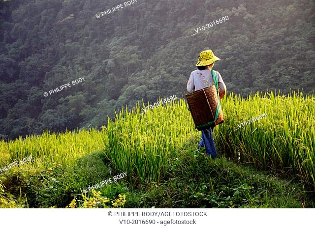 Vietnam, province of Hoa Binh, national Park of Cuc Phuong, Ban Ko Muong, woman taking off weeds in rice field