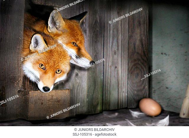 two red foxes / vulpes vulpes
