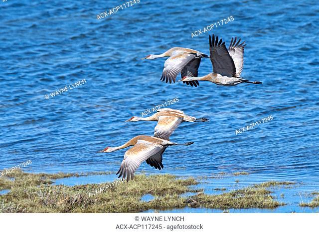 Sandhill cranes (Grus canadensis) Victoria Island, Nunavut, Arctic Canada