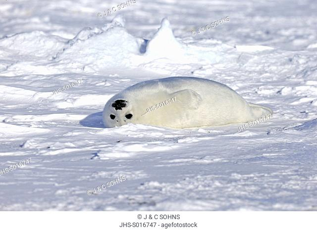Harp Seal, Saddleback Seal, (Pagophilus groenlandicus), Phoca groenlandica, seal pup on pack ice, Magdalen Islands, Gulf of St