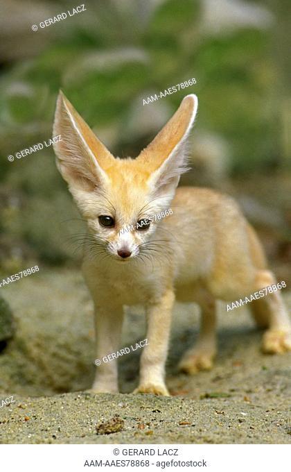 Fennec or Desert Fox, fennecus zerda, Cub