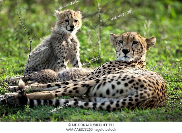 Cheetah (Acinonyx jubatus) Ngorongoro Conservation Area, south of Serengeti National Park, Tanzania
