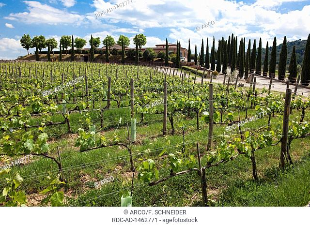 Vineyard and cypresses, Tuscany, Italy, Europe, Cupressus sempervirens