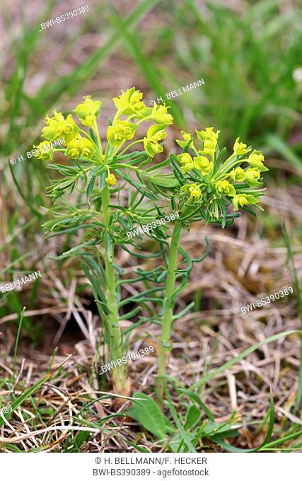 cypress spurge (Euphorbia cyparissias), blooming, Germany