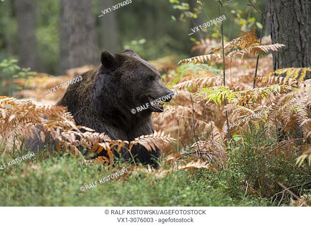 European Brown Bear ( Ursus arctos ), lying, resting, hiding over day between fern in the undergrowth of a forest, watching, getting up, Europe
