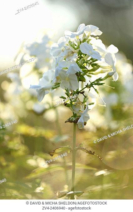 Close-up of white Garden phlox (Phlox paniculata) blossoms in a garden in summer