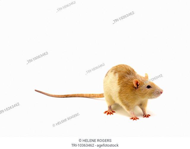 Brown & White Rat