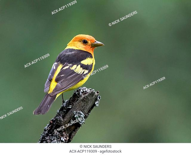 A male Western Tanager, Piranga ludoviciana, - perched in the woods at Cypress Hills Interprovincial Park, Saskatchewan