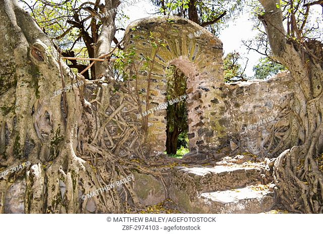 Trees grow over the ancient ruins of Fasilides Bath in Gondar, Ethiopia