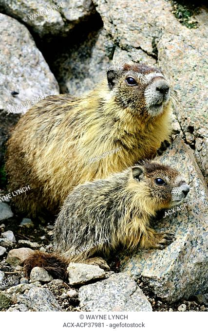 Yellow-bellied marmots Marmota caligata adult and juvenile, southern Okanagan Valley, British Columbia