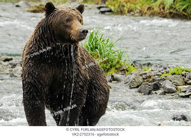 Female Grizzly Shedding Water Geographic Creek, Katmai National Park Alaska