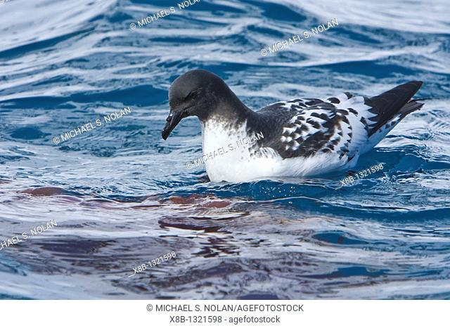 Adult cape petrel Daption capense feeding on jellyfish at Point Wild, Elephant Island, South Shetland Island Group, Antarctica  This petrel is sometimes also...