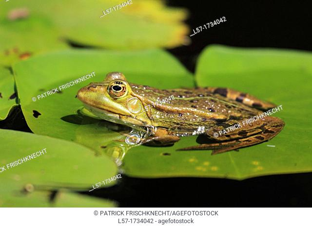 Common Pool Frog, Rana esculenta, Switzerland