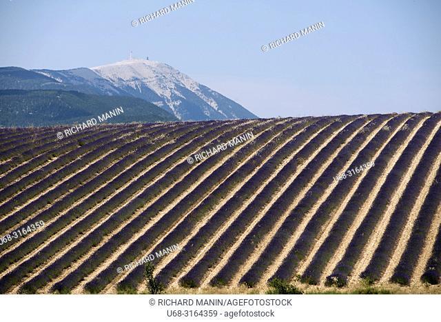 France, Auvergne-Rhône-Alpes, Drome (26), Ferrassières, lavender fields, Ventoux