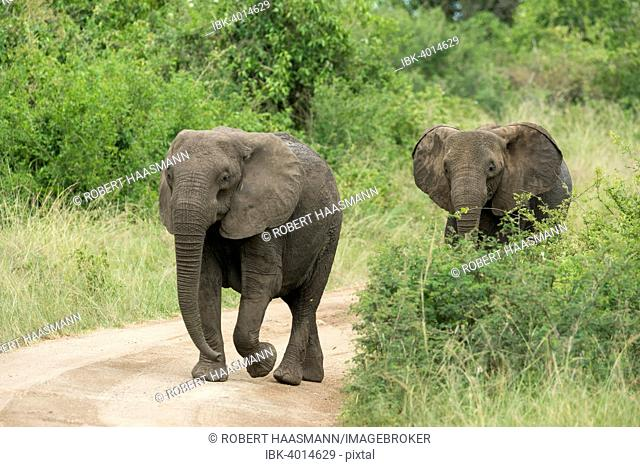 African Elephants (Loxodonta africana) walking along a track, Queen Elizabeth National Park, Uganda