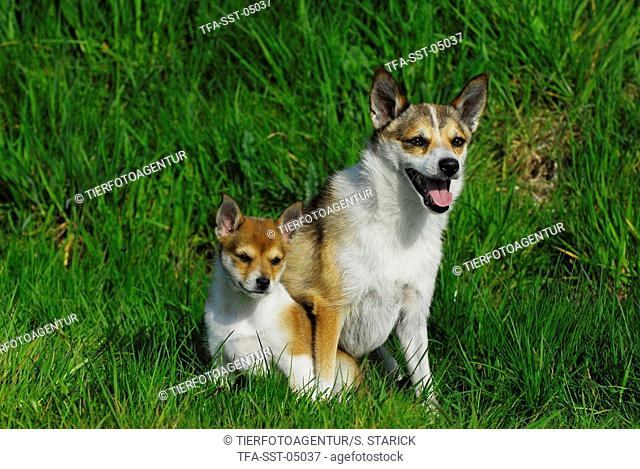 Norwegian Lundehund Puppy Stock Photos And Images Age Fotostock