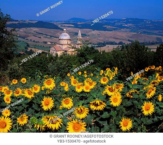 Sanctuary of the Madonna di San Biagio and Field of Sunflowers, Montepulciano, Tuscany, Italy