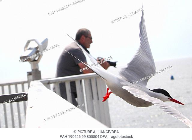 19 June 2019, Schleswig-Holstein, Wesselburenerkoog: A man observes terns at the edge of a breeding colony at the Eider barrier