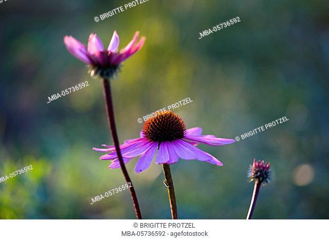 Purple coneflower, close-up